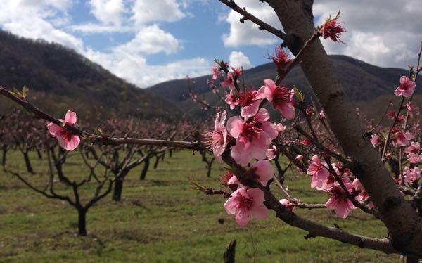 Цветут деревья под Краснодаром